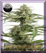 DinaFem Auto Critical Cheese Feminised Cannabis Seeds